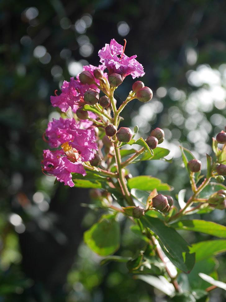 サルスベリ ペチートプラムの花が咲きだした。2020年-010.jpg