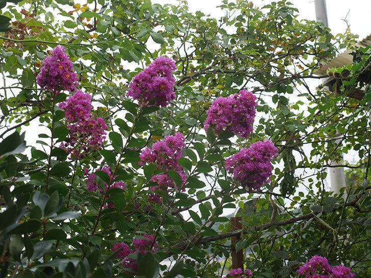 サルスベリ ペチートプラムの花が増えてきた。2021年-001.jpg