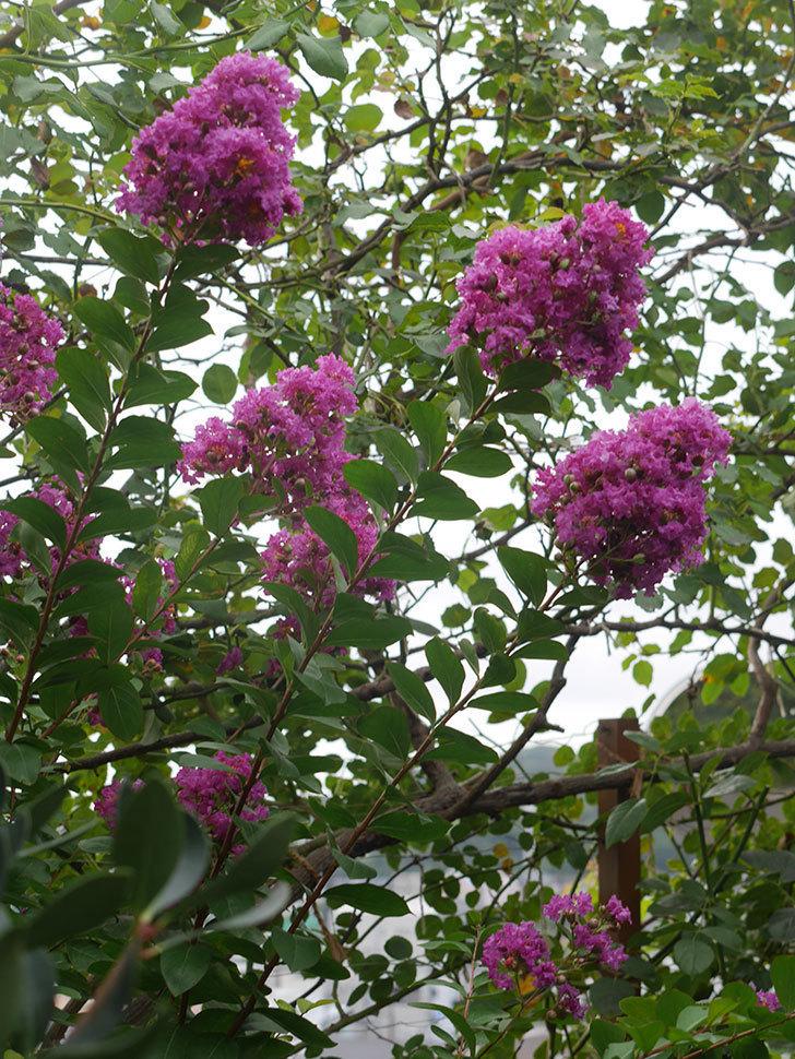 サルスベリ ペチートプラムの花が増えてきた。2021年-002.jpg