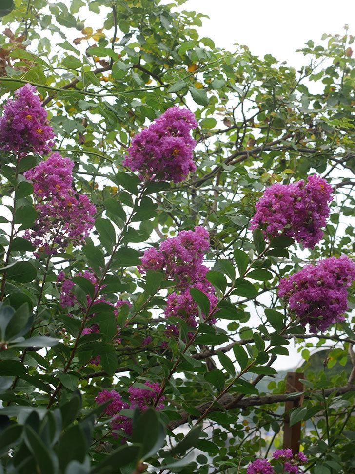 サルスベリ ペチートプラムの花が増えてきた。2021年-003.jpg