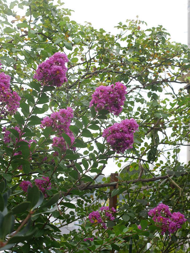 サルスベリ ペチートプラムの花が増えてきた。2021年-004.jpg