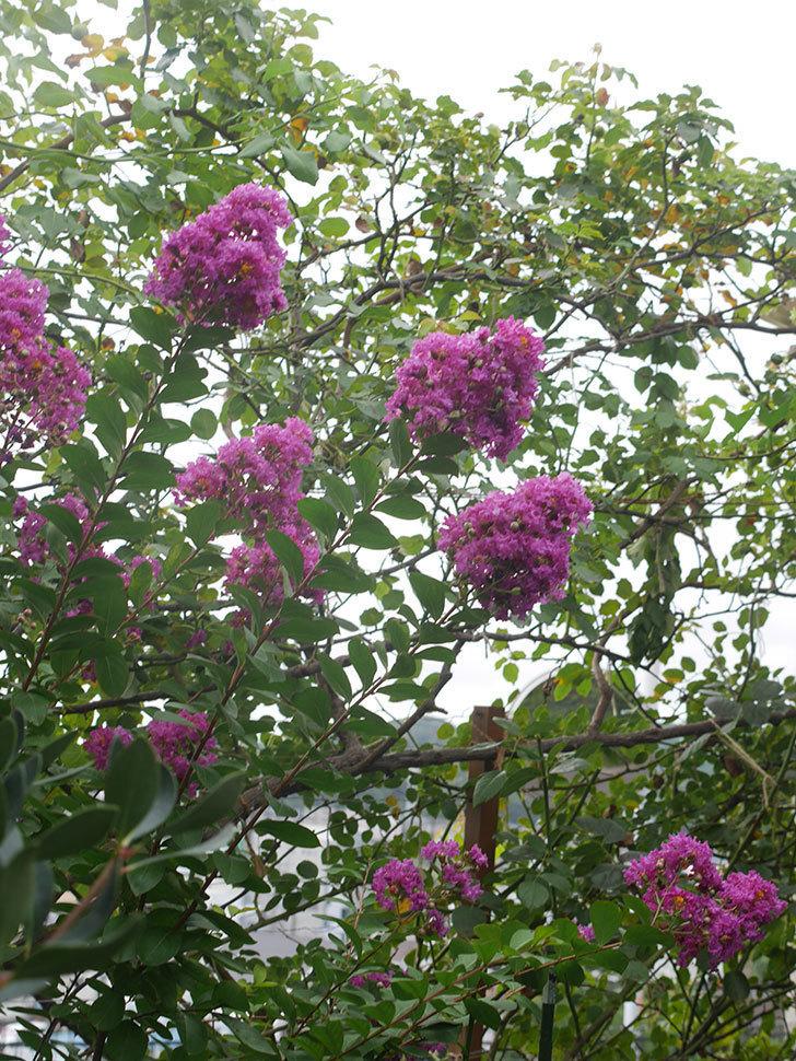 サルスベリ ペチートプラムの花が増えてきた。2021年-005.jpg