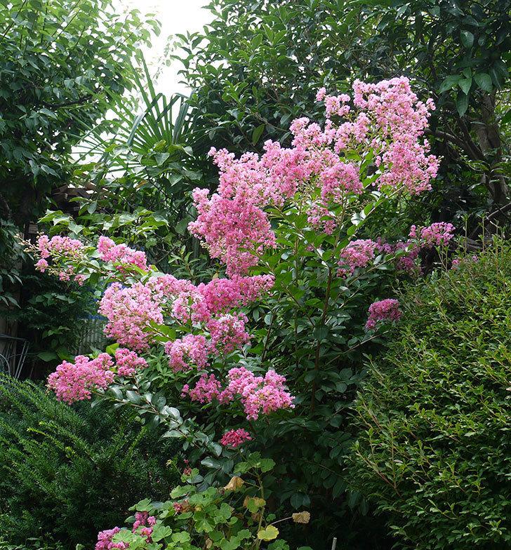 サルスベリがたくさん咲いた。2017年-2.jpg
