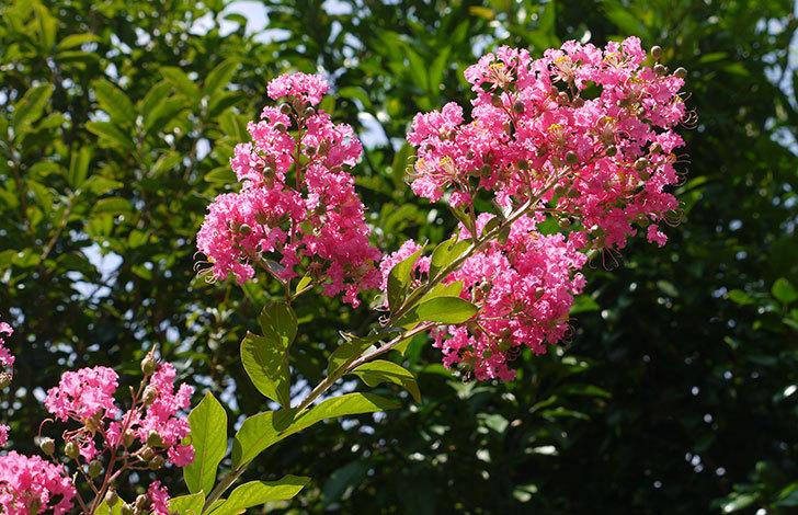 サルスベリが咲いた1.jpg