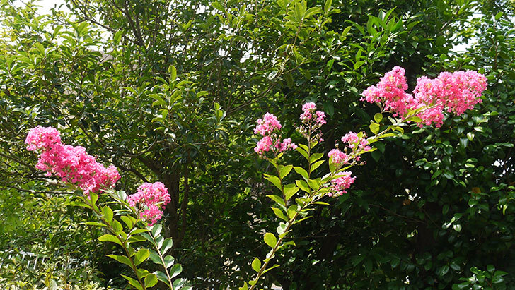サルスベリが咲いた2.jpg