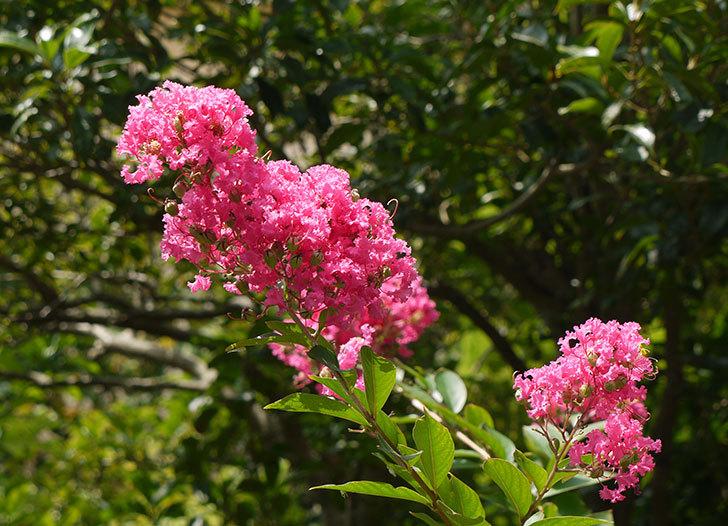 サルスベリが咲いた3.jpg