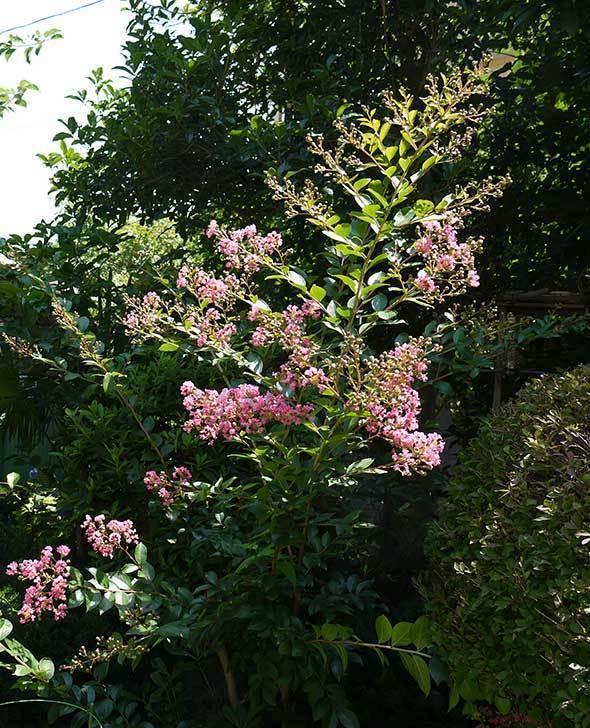 サルスベリが咲いた。2015年-2.jpg