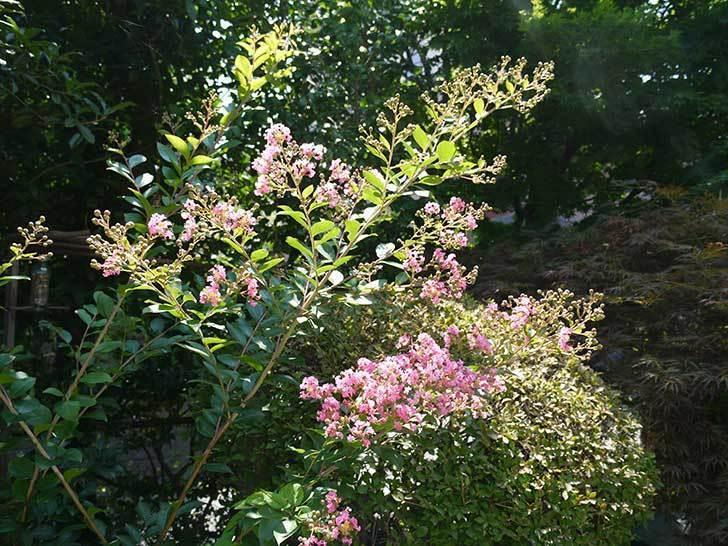 サルスベリが咲いた。2015年-3.jpg