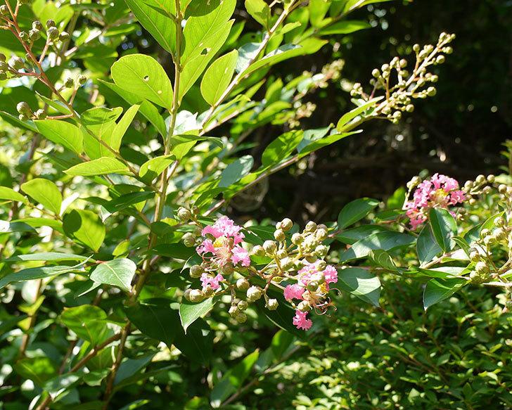 サルスベリが咲きだした。2016年-2.jpg