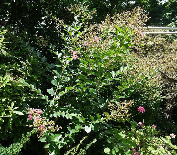 サルスベリが咲きだした。2017年-3.jpg