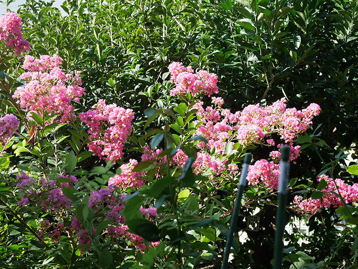 サルスベリの花がまた増えてきた。2020年-001.jpg