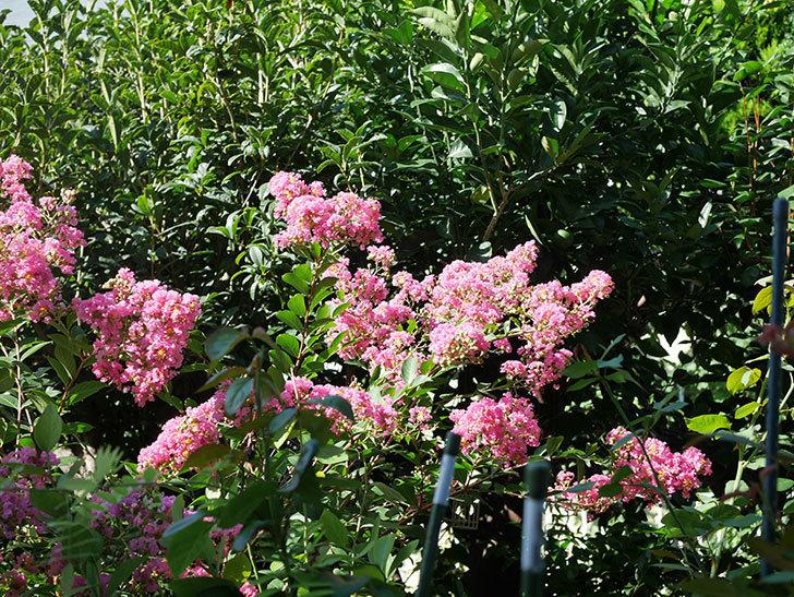 サルスベリの花がまた増えてきた。2020年-002.jpg