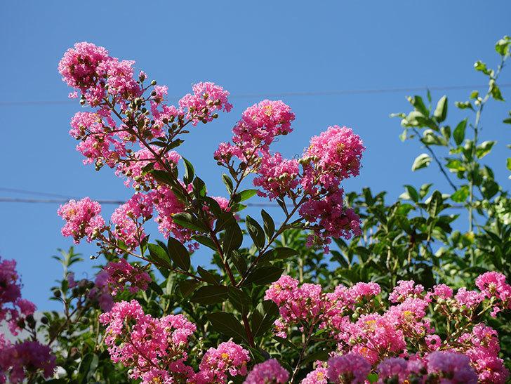 サルスベリの花がまた増えてきた。2020年-004.jpg