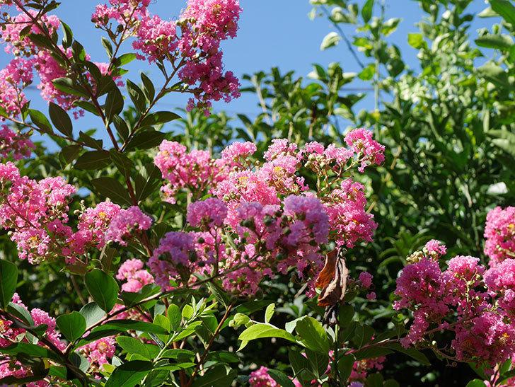 サルスベリの花がまた増えてきた。2020年-005.jpg