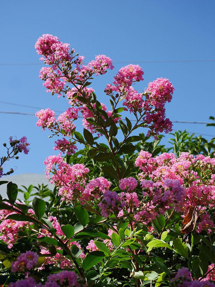 サルスベリの花がまた増えてきた。2020年-008.jpg