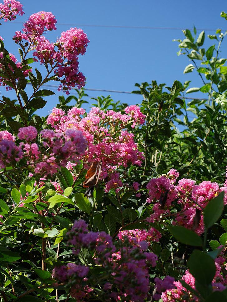 サルスベリの花がまた増えてきた。2020年-009.jpg