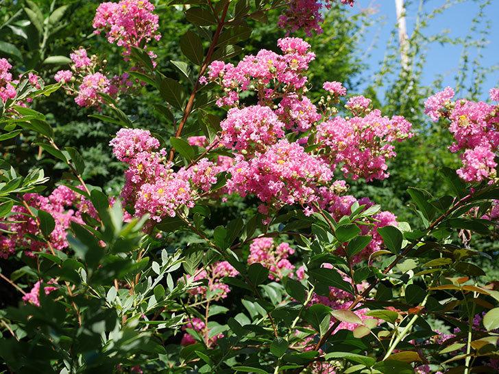 サルスベリの花がまた増えてきた。2020年-010.jpg