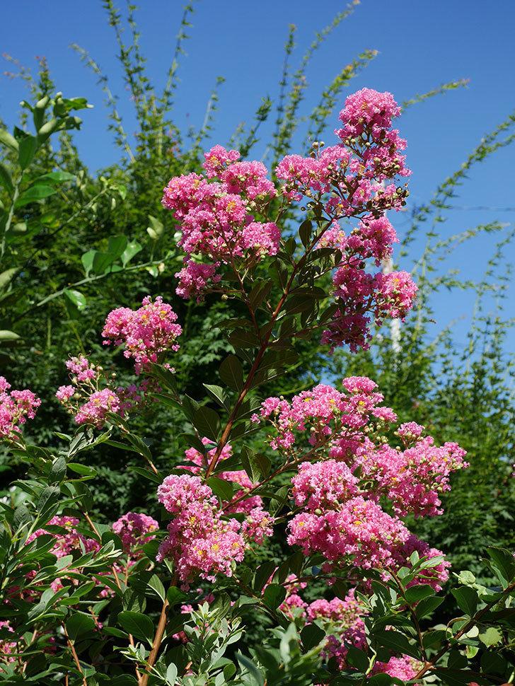 サルスベリの花がまた増えてきた。2020年-011.jpg