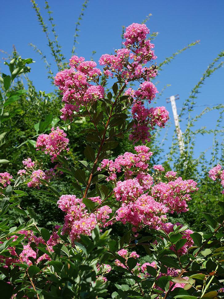 サルスベリの花がまた増えてきた。2020年-012.jpg