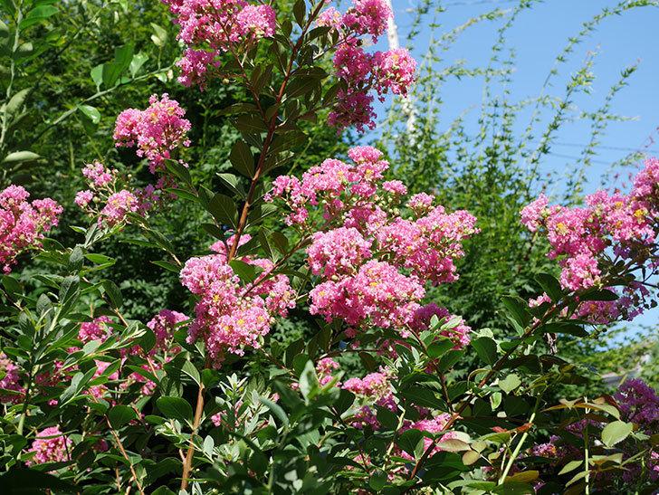サルスベリの花がまた増えてきた。2020年-013.jpg