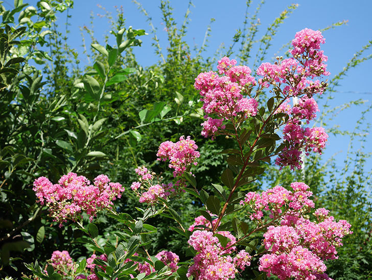サルスベリの花がまた増えてきた。2020年-014.jpg