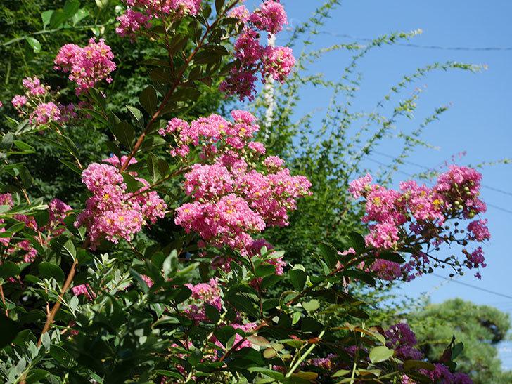 サルスベリの花がまた増えてきた。2020年-015.jpg