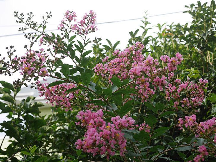 サルスベリの花が咲いた。2020年-003.jpg
