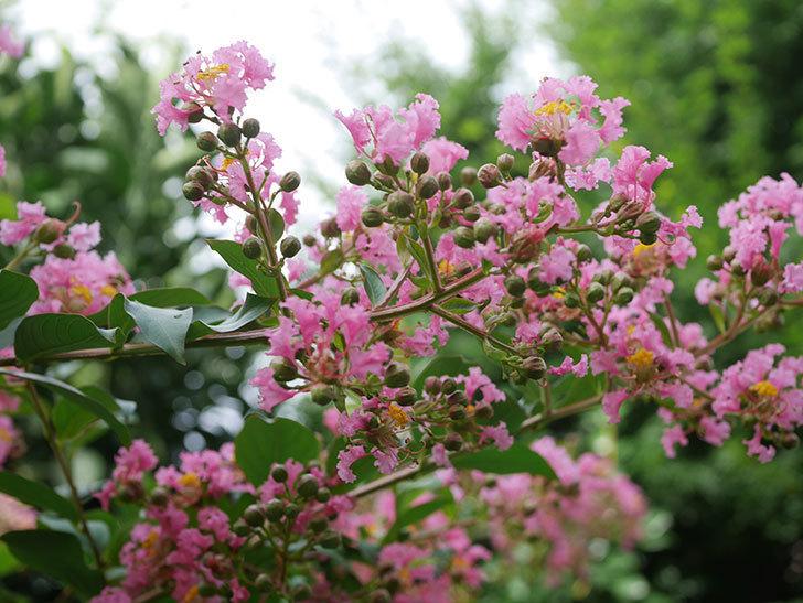サルスベリの花が咲いた。2020年-005.jpg