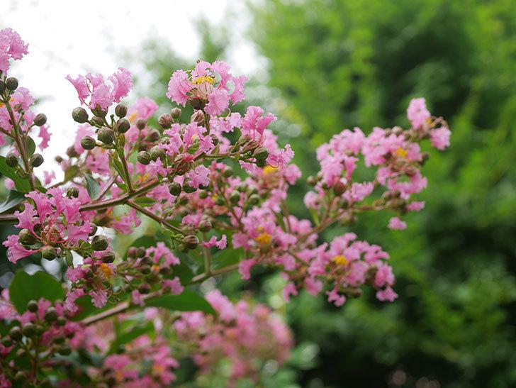 サルスベリの花が咲いた。2020年-006.jpg