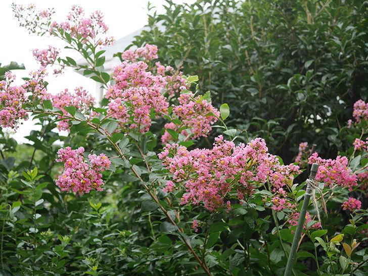 サルスベリの花が咲いた。2020年-008.jpg
