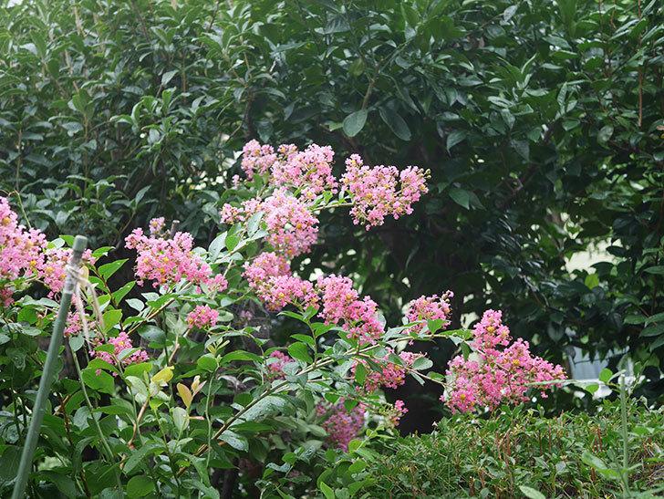 サルスベリの花が咲いた。2020年-009.jpg