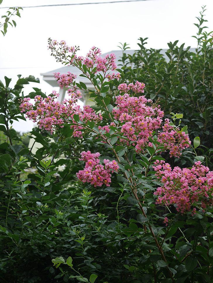 サルスベリの花が咲いた。2020年-010.jpg