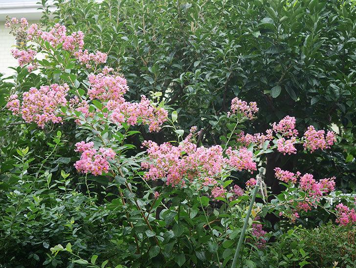 サルスベリの花が咲いた。2020年-011.jpg