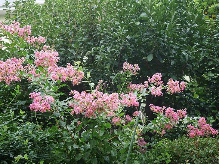 サルスベリの花が咲いた。2020年-012.jpg