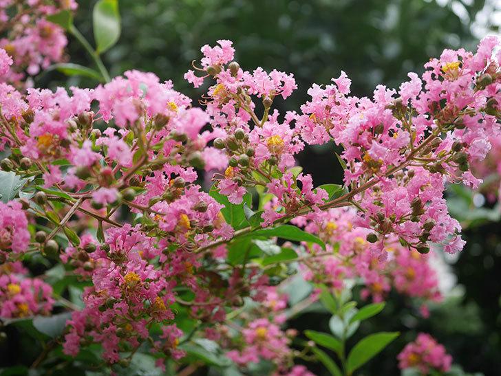 サルスベリの花が咲いた。2020年-013.jpg