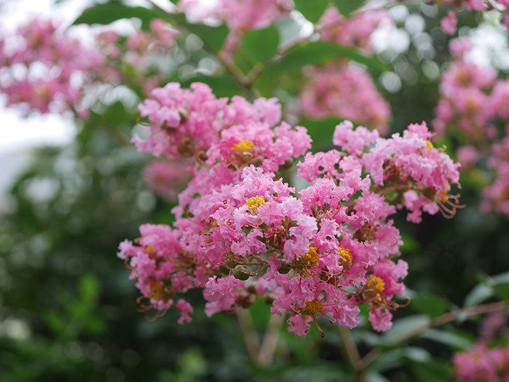 サルスベリの花が咲いた。2020年-016.jpg
