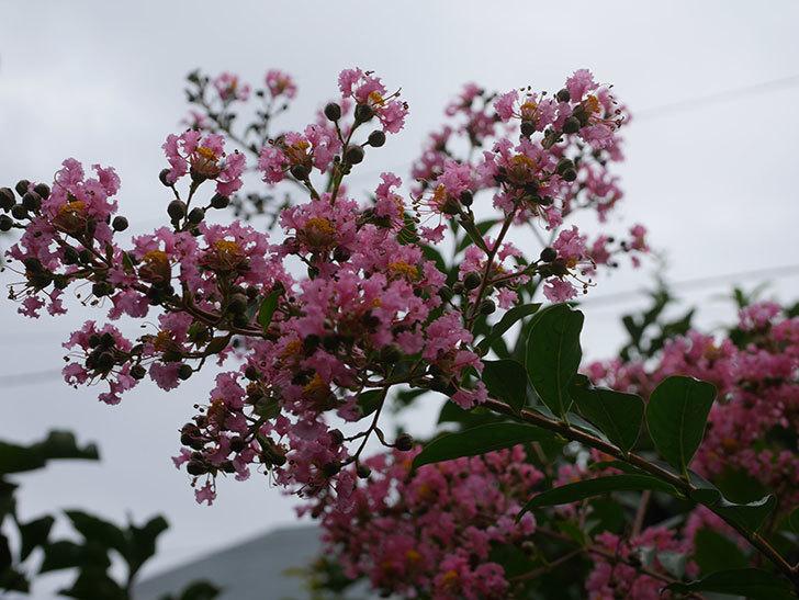 サルスベリの花が咲いた。2020年-017.jpg