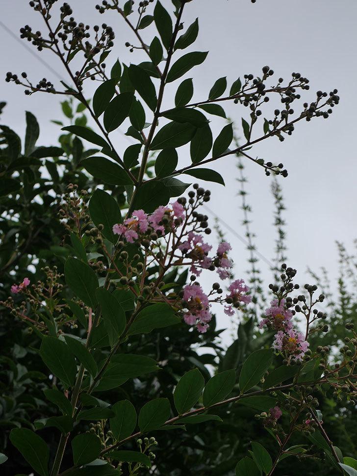 サルスベリの花が咲きだした。2020年-002.jpg