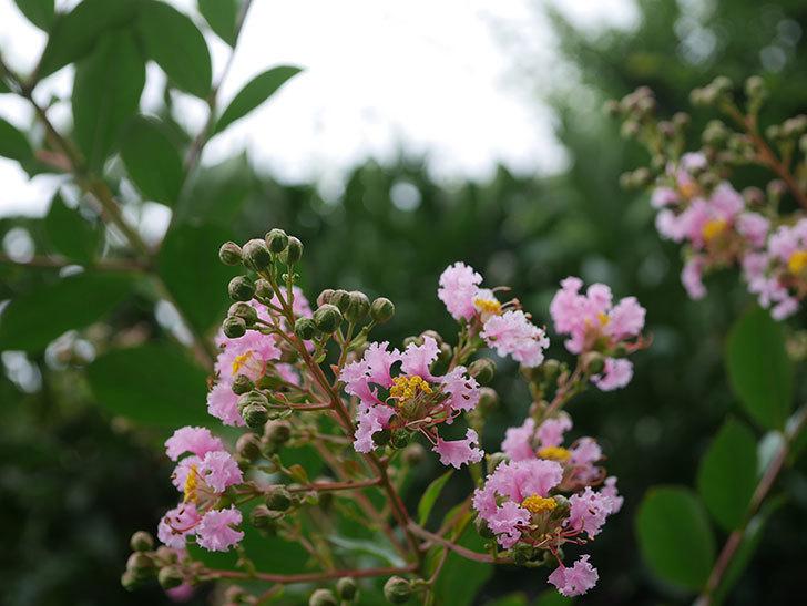 サルスベリの花が咲きだした。2020年-003.jpg