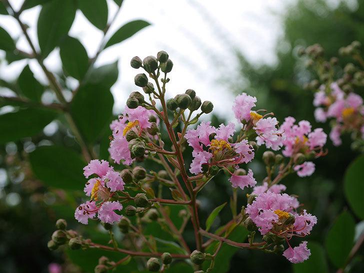 サルスベリの花が咲きだした。2020年-005.jpg
