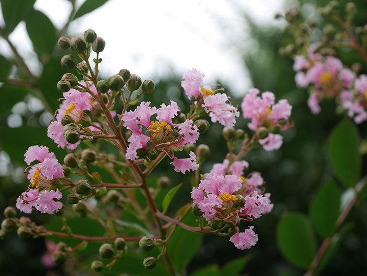 サルスベリの花が咲きだした。2020年-006.jpg