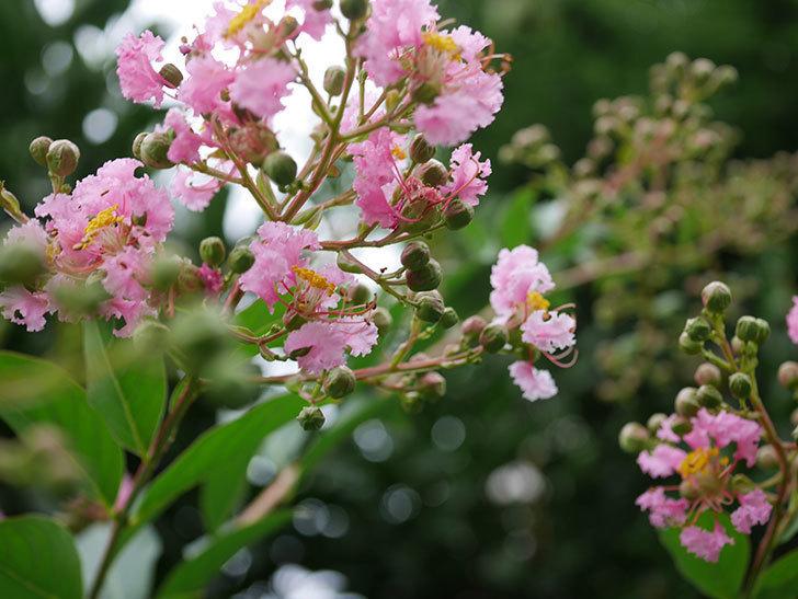 サルスベリの花が咲きだした。2020年-008.jpg
