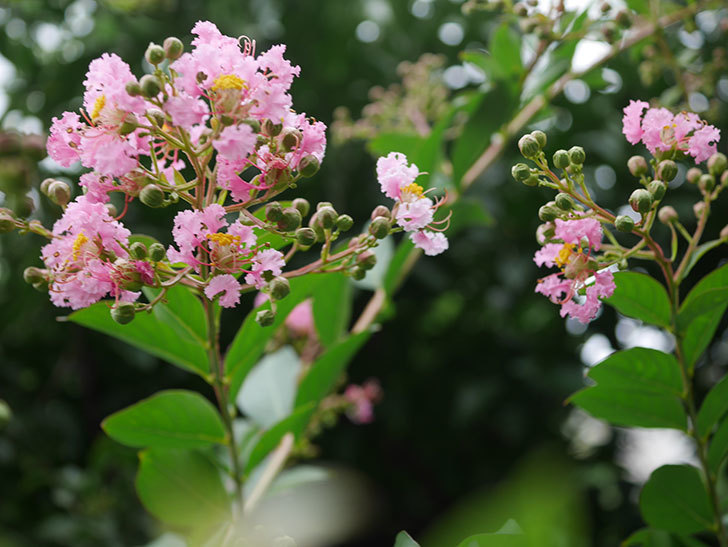 サルスベリの花が咲きだした。2020年-009.jpg
