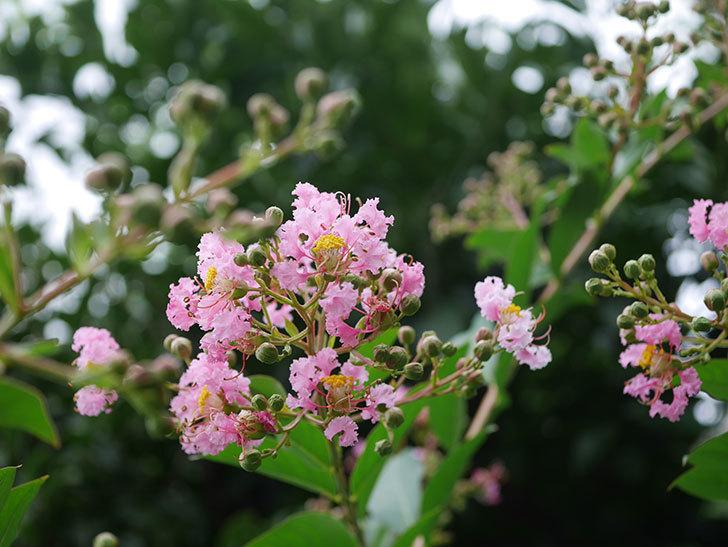 サルスベリの花が咲きだした。2020年-010.jpg