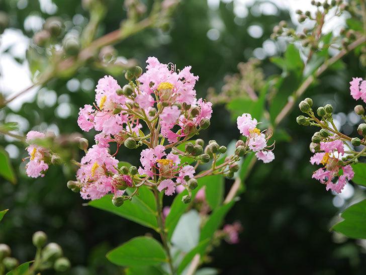 サルスベリの花が咲きだした。2020年-011.jpg