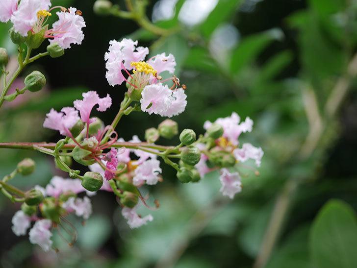サルスベリの花が咲きだした。2020年-013.jpg