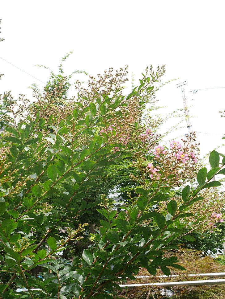 サルスベリの花が咲きだした。2021年-003.jpg