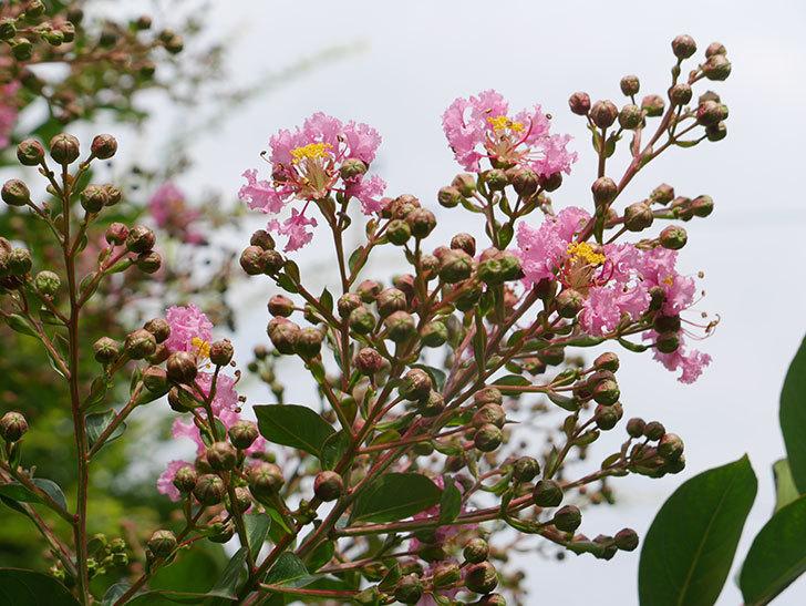 サルスベリの花が咲きだした。2021年-005.jpg
