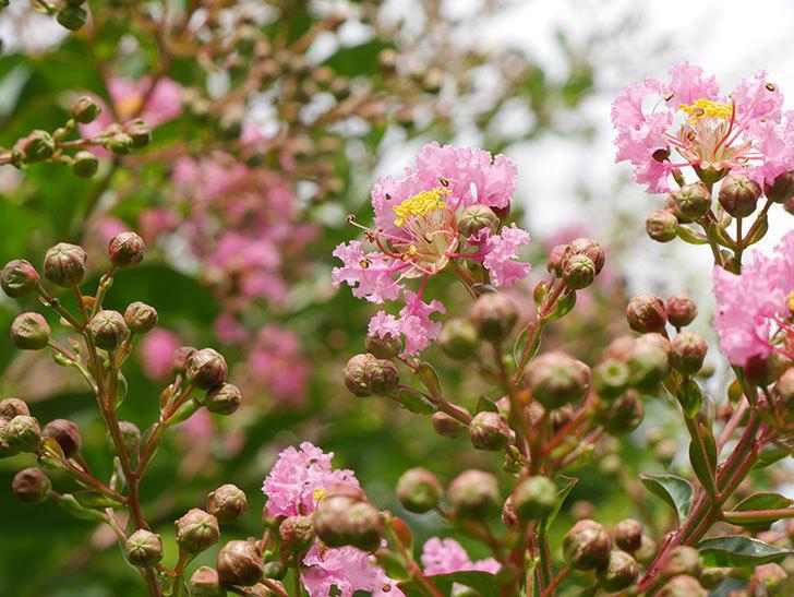 サルスベリの花が咲きだした。2021年-008.jpg