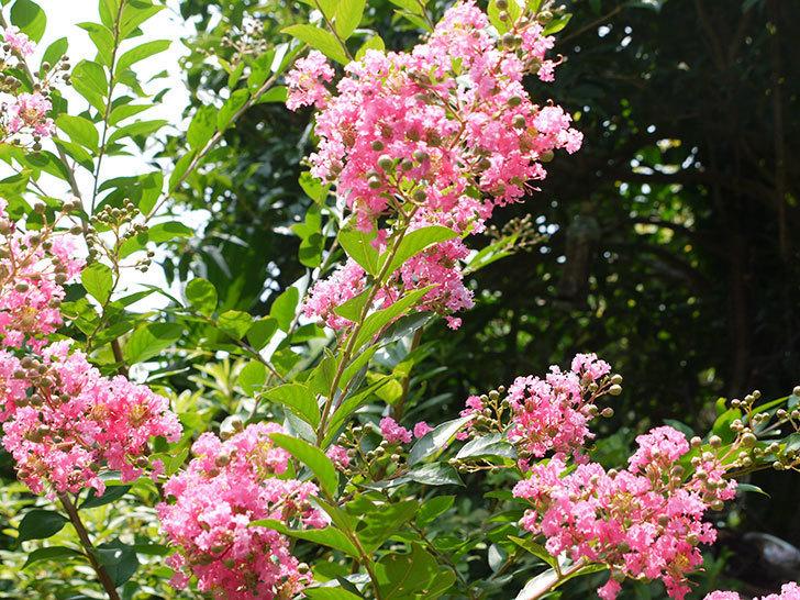 サルスベリの花が増えてきた。2016年-3.jpg